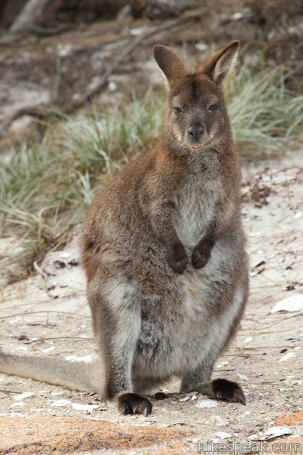 Wallaby Freycinet National Park