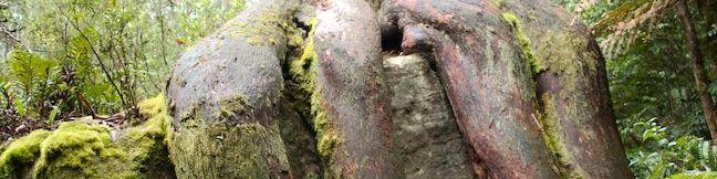 Circle Track Octopus Tree Shoobridge Bend Walking Trail Mount Wellington Park Hobart Tasmania Australia