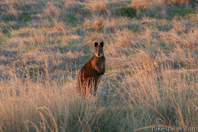 See black swamp wallabies too, on this scenic 4-kilometer-long coastal road.