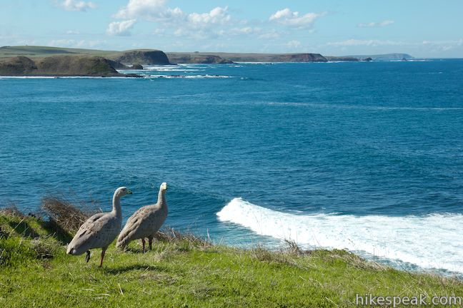 See Cape Barren geese on this 4-kilometer coastal road that can be walked, driven, or biked.