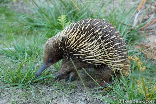 Be on the lookout for echidnas as you hike around the end of Cape Woolamai.