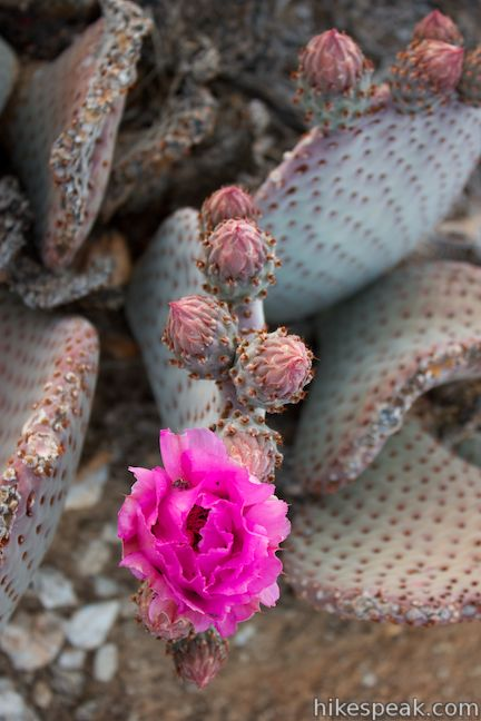 Beavertail Cactus Wildflower