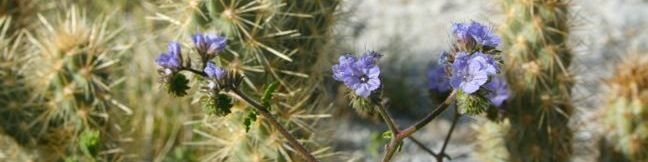 Wildflowers in Anza-Borrego Desert State Park - photos of desert flowers and details about the anual wildflower bloom in the Anza-Borrego Desert