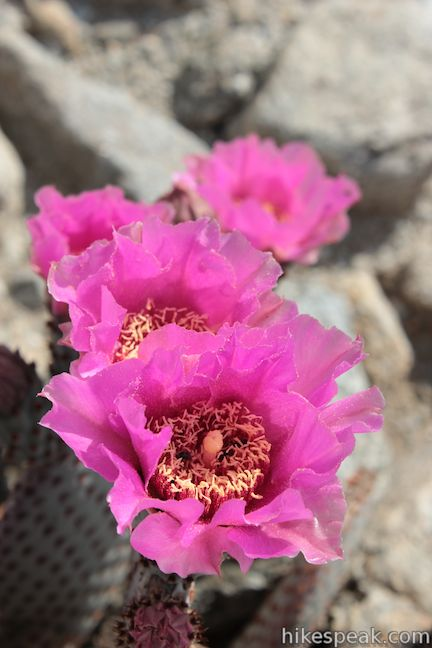 Yaqui Well Trail Beavertail Cactus