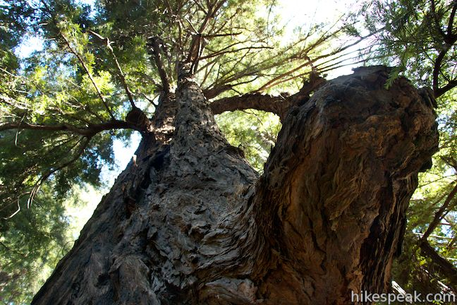 Proboscis Redwood Tree