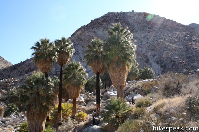 The 3-mile hike visits a palm tree oasis in the desert on the north side of Joshua Tree National Park.