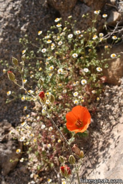 Globemallow Joshua Tree