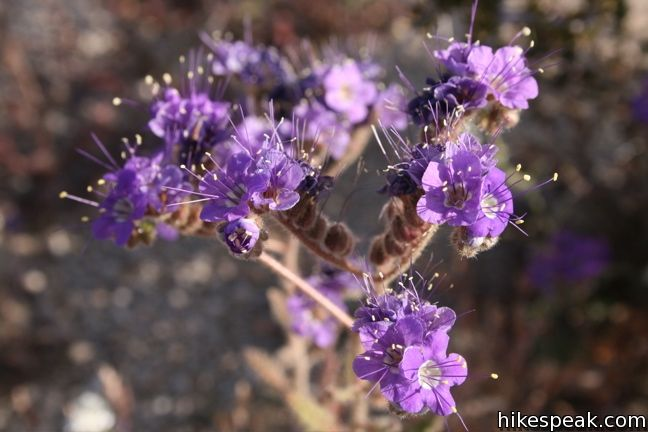 Notch-leaf phacelia Joshua Tree