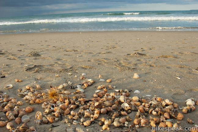 Papamoa Beach Seashells