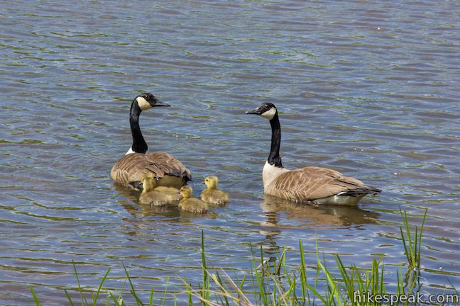 Marsh Trail Pond Geese Binghamton University Nature Preserve