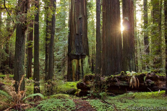 This 0.5-mile loop wanders across a forest floor covered in sorrel, visiting giant redwoods that include the Girdled Tree, which had its bark stripped away.