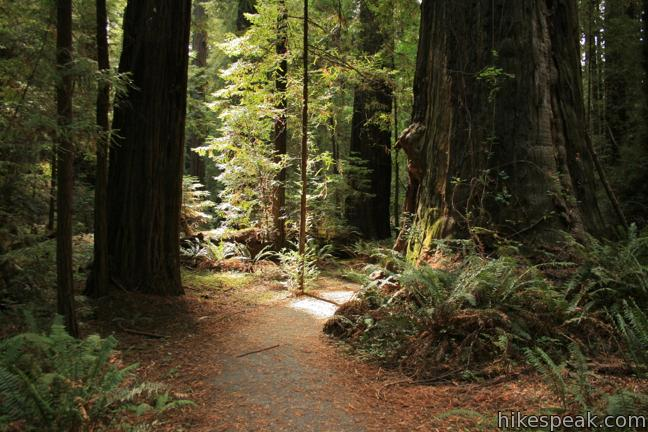Gould Grove in Humboldt Redwoods State Park