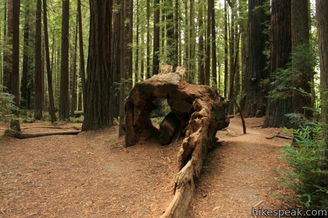 This half mile loop explores an old growth redwood forest across from the visitor center in Humboldt Redwoods State Park.
