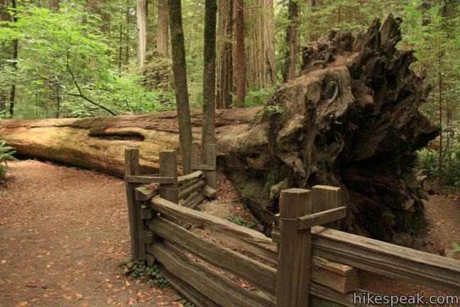 Stout Memorial Grove in Jedediah Smith Redwoods State Park