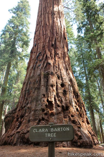 Clara Barton Tree Sequoia National Park