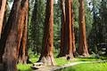 Big Trees Trail sequoia