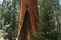 General Grant Tree Giant Sequoia