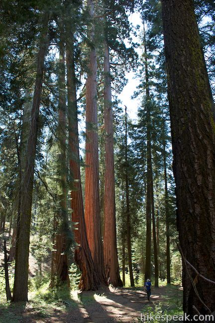 giant sequoias on North Grove Trail