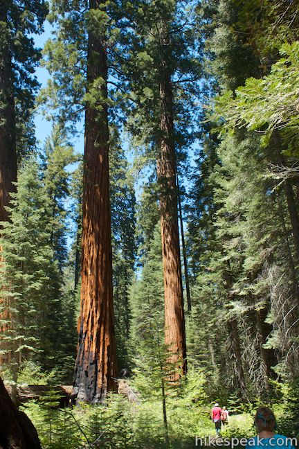 Giant sequoias along Redwood Creek Trail