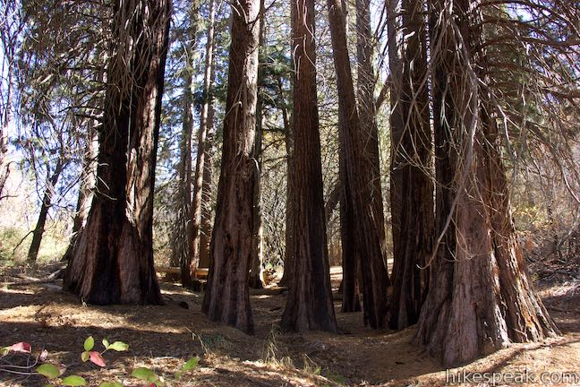 See a planted grove of giant sequoias along with native trees on a nature trail through Heaps Peak Arboretum.