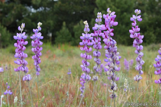 Lupines San Jacinto Mountains