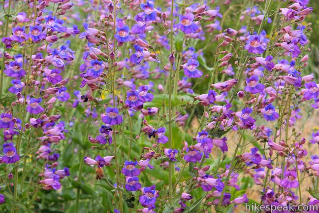 Penstemon Indian Mountain