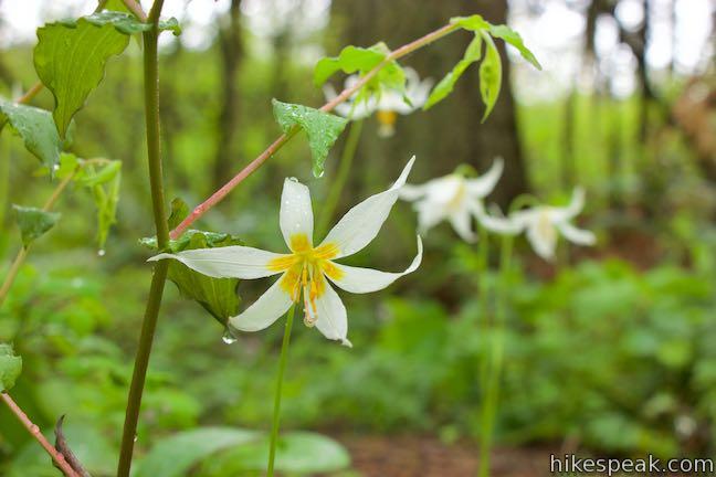 Camas Lilies Lacamas Lake Regional Park Lily Field