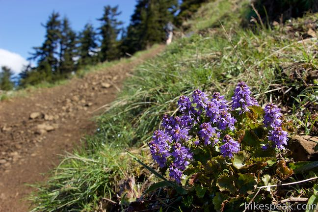 Columbia kittentails Wildflower Bloom Dog Mountain Trail