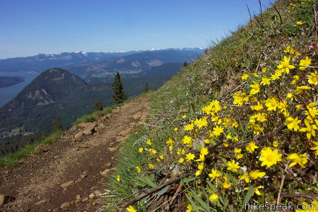 Yellow Balsamroot Wildflower Bloom Dog Mountain Trail