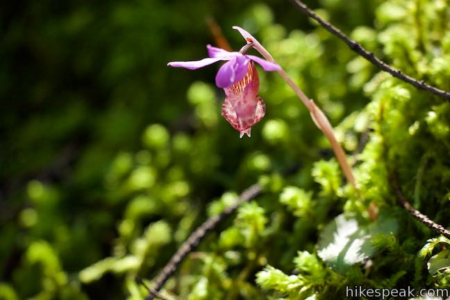 Fairy Slipper Orchid Wildflower