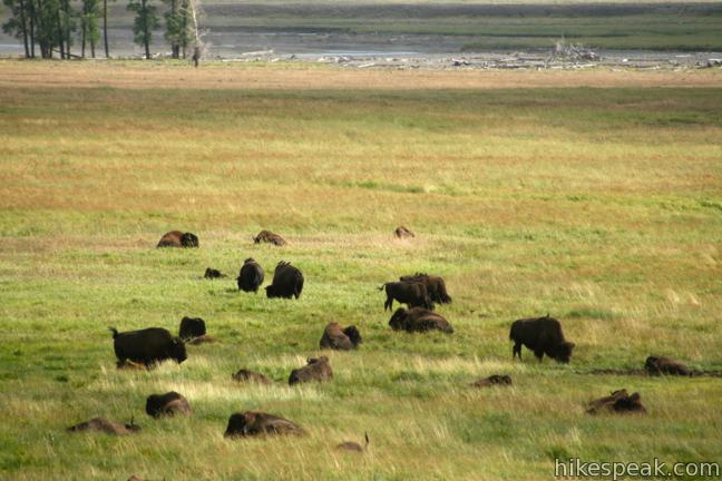 Yellowstone Bison Lamar Valley
