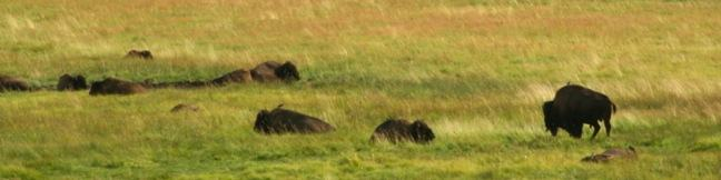 Lamar Valley Bison Herd Yellowstone National Park