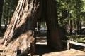 Mariposa Giant Sequoia Grove Yosemite