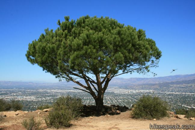 Cahuenga Peak Hike wisdom tree