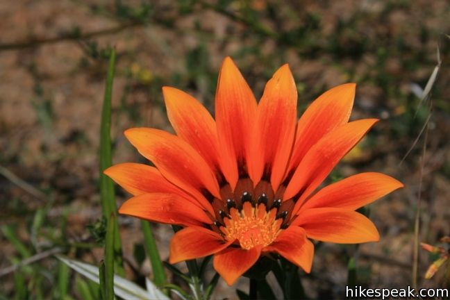 Los Angeles Wildflower gazania flower