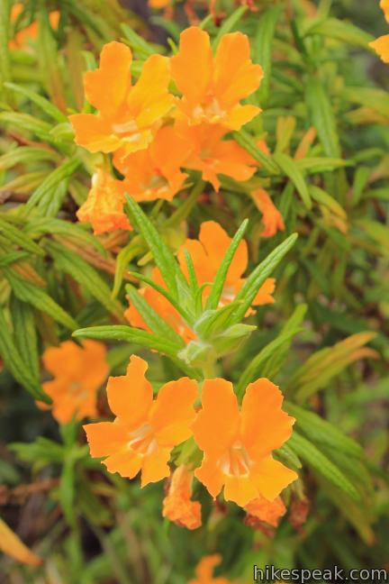 Charmlee Wilderness Sticky monkeyflower
