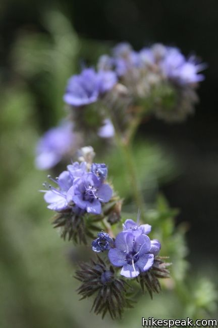 Los Angeles Wildflower fern phacelia