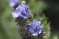 Fern leaf phacelia Wildflower