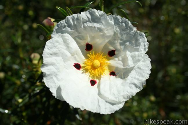 Los Angeles Wildflower Crimson-spot rockrose