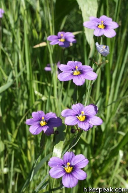 Los Angeles Wildflower blue-eyed grass
