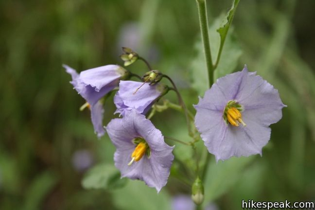 Los Angeles Wildflower purple nightshade