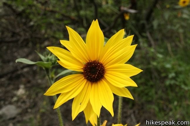 Los Angeles Wildflower sunflower