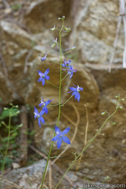 Los Angeles Wildflowers Larkspur
