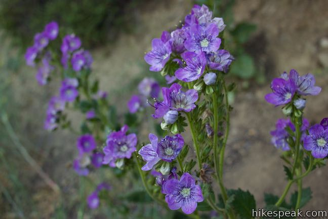 Large-flowered phacelia