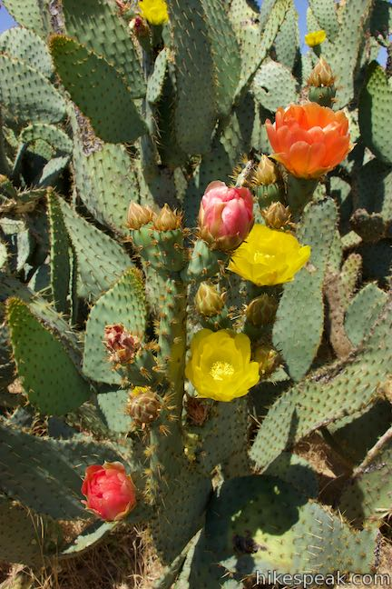 Los Angeles Wildflower Prickly Pear Cactus