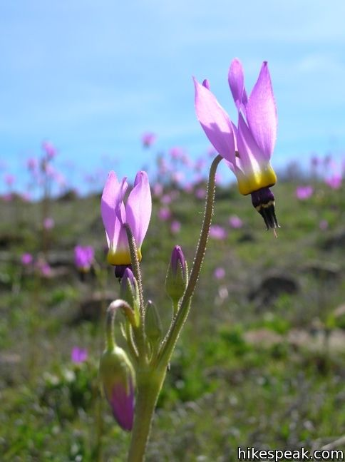 Los Angeles Wildflower shooting star