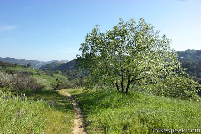 A California walnut tree Summit Valley